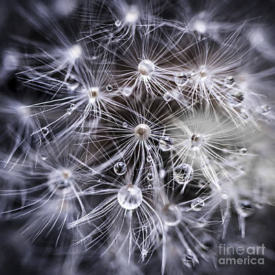 Dandelion Seeds With Water Drops Poster