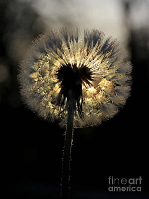 Dandelion Sunrise - 1 Poster by Kenny Glotfelty