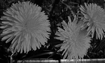 Poster featuring the photograph Dandelion Weeds? B/w by Martin Howard