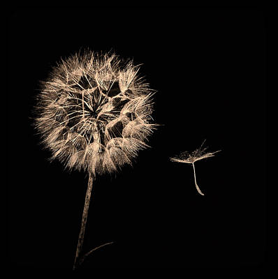 Dandelion With Seed Poster
