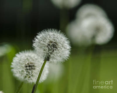 Poster featuring the photograph Dandelions  by JRP Photography