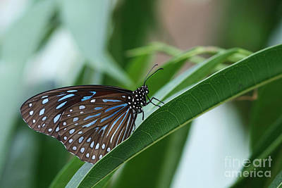 Dark Blue Tiger Butterfly #2 Poster by Judy Whitton