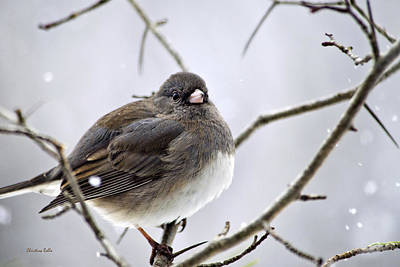 Dark-eyed Junco Poster by Christina Rollo