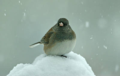 Dark-eyed Junco In The Snow Poster by Sandy Keeton