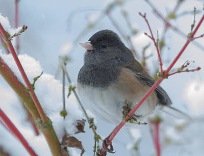 Dark-eyed Junco In Winter Poster by Angie Vogel