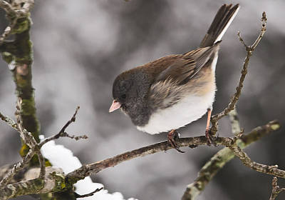 Dark-eyed Junco Poster