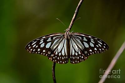 Dark Glassy Tiger Butterfly On Branch Poster by Imran Ahmed