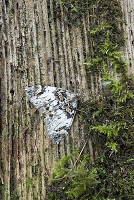 Dark Marbled Carpet Moth Poster by David Aubrey