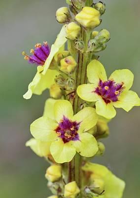 Dark Mullein (verbascum Nigrum) Flowers Poster