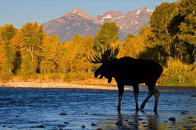 Poster featuring the photograph Dark Side Moose                               by Aaron Whittemore