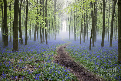 Dawn Bluebell Wood Poster