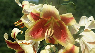 Day Lily Orange White...   # Poster by Rob Luzier