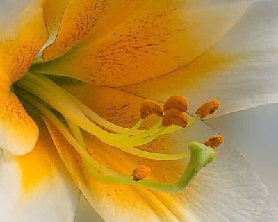 Gold Daylily Close-up Poster
