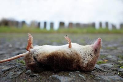 Dead Shrew Poster by Cordelia Molloy