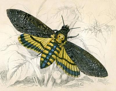 Death's Head Hawk Moth By Jardine Poster by Robert Jensen