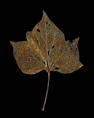 Decayed Ivy Leaf Poster