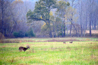 Deer At Cades Cove Poster by Kenny Francis