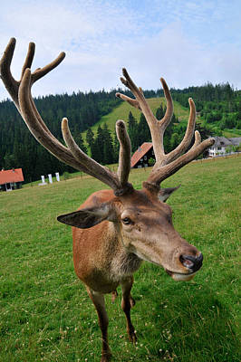 Deer Cervidae With Impressive Antlers Poster by Matthias Hauser