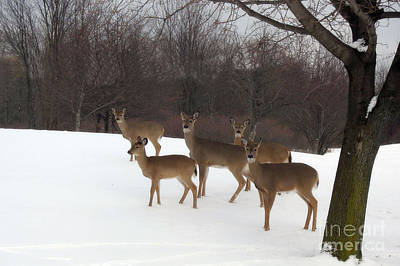 Deer Photography - Michigan Deer Herd Winter Snow Landscape  Poster