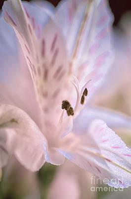 Delicate Peruvian Lily Poster