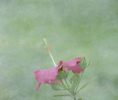 Delicate Pink Hibiscus Flower Poster by Kim Hojnacki