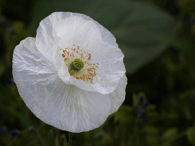 Poster featuring the photograph Delicate Poppy by Inge Riis McDonald