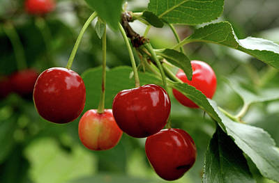 Delicious Cherries Poster by Sandy Keeton