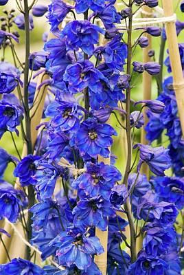 Delphinium 'blue Tit' Flowers Poster by Adrian Thomas
