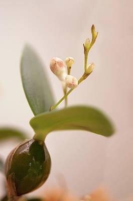 Dendrobium Aberrans Orchid Poster