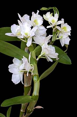 Dendrobium Nobile Orchid Poster by Dr. Nick Kurzenko