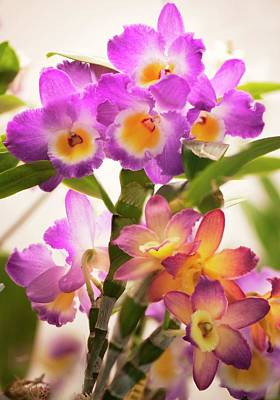 Dendrobium Nobile Orchid Poster by Maria Mosolova