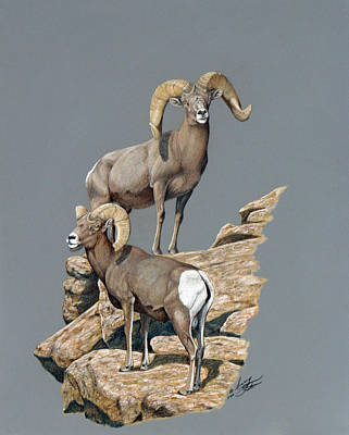 Desert Bighorn Rams Poster