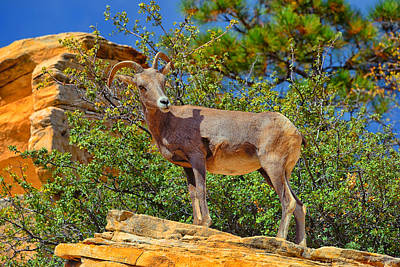 Poster featuring the photograph Desert Bighorn Sheep by Greg Norrell