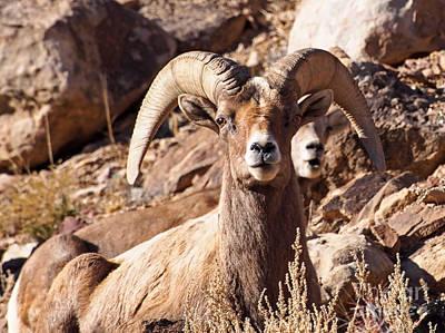 Desert Bighorn Sheep Poster