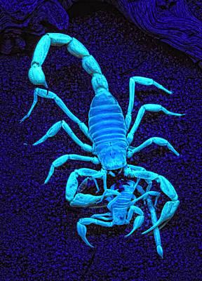 Desert Hairy Scorpion Eating Sand Scorpion Poster by Robert Jensen