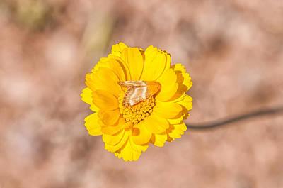 Desert-marigold Moth Poster by Rich Leighton