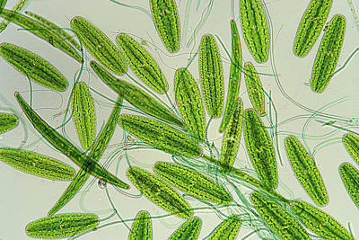 Desmids And Cyanobacteria Poster by Marek Mis