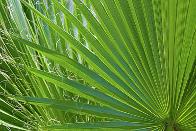 Detail Of Palm Tree Frond Poster by Anna Miller