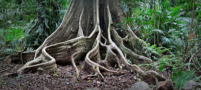 Detail Tree Roots Rain Forest Poster