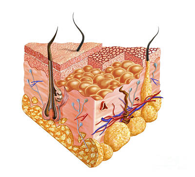 Detailed Cutaway Diagram Of Human Skin Poster by Leonello Calvetti