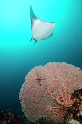 Devil Ray Behind Sea Fan Poster by Scubazoo