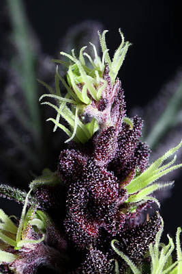 Devil Weed Seeds 'the Purps' Macro Poster