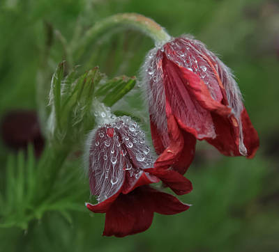 Dew Covered Pasque Flower Poster