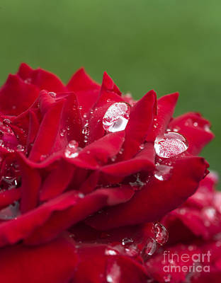 Dew Drops And Red Rose Poster