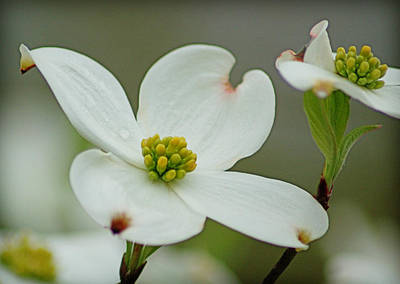 Dew-kissed Dogwood Poster