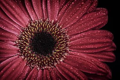 Dew On A Gerbera Daisy Poster by Zoe Ferrie