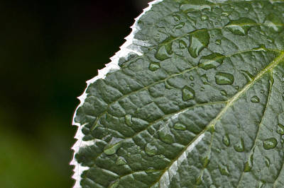 Poster featuring the photograph Dew On Leaf by Crystal Hoeveler