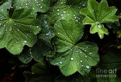 Poster featuring the photograph Dew On Leaves by Tom Brickhouse
