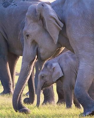 Dhikala Elephants Poster by David Beebe