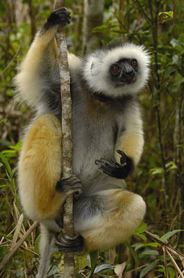Diademed Sifaka Madagascar Poster by Pete Oxford